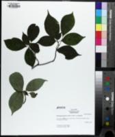 Image of Helwingia japonica