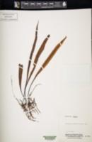 Image of Loxogramme remotefrondigera