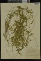 Strophostyles umbellata image