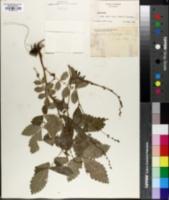 Agrimonia platycarpa image