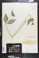 Asclepias quadrifolia image
