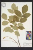 Image of Fraxinus oregona