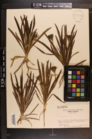 Plantago aristata image