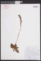 Goodyera pubescens image