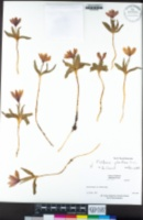 Fritillaria pluriflora image