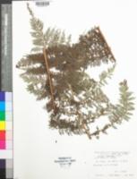 Image of Cyathea hooglandii