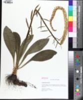 Image of Chamaelirium luteum