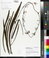 Chlorophytum comosum image