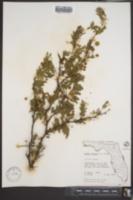 Acacia tortuosa image