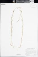 Clarkia gracilis image