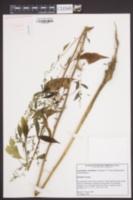 Amaranthus cannabinus image