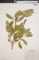Image of Erythroxylum coca