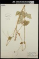Image of Osmorhiza leibergii