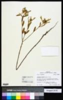 Image of Euphorbia bicolor