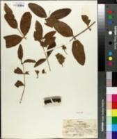 Image of Flindersia australis
