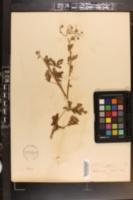 Chrysanthemum parthenium image