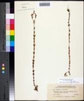 Hypericum denticulatum var. denticulatum image