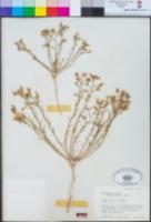 Image of Ipomopsis effusa