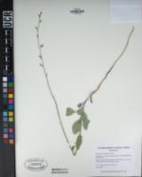 Streptanthus bernardinus image