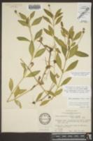 Phyla cuneifolia image