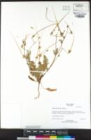 Erodium botrys image
