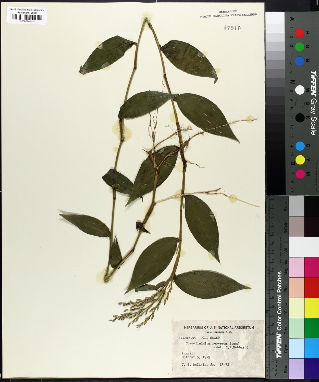 Commelinidium nervosum image