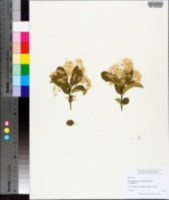 Chionanthus retusus image