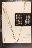 Gamochaeta purpurea image