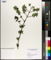 Abelia chinensis image