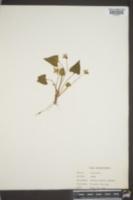 Viola missouriensis image