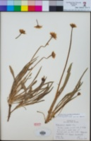 Phalacroseris bolanderi image