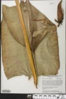 Image of Heliconia standleyi