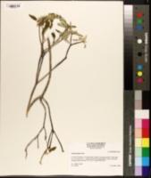 Image of Croton incanus