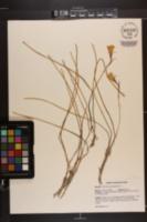 Narcissus bulbocodium image