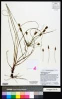 Cyperus hystricinus image