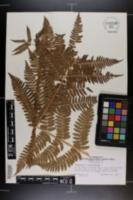 Image of Dryopteris x separabilis