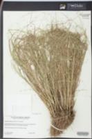 Eragrostis refracta image