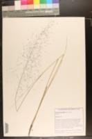 Image of Muhlenbergia filipes