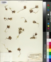 Collomia diversifolia image