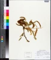 Prosopis juliflora var. velutina image