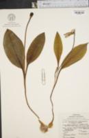 Image of Erythronium umbilicatum