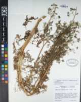 Anthriscus caucalis image