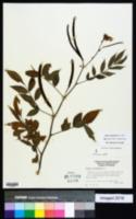 Senna occidentalis image