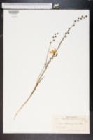 Image of Tritonia crocosmiflora