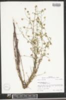 Aster subulatus image