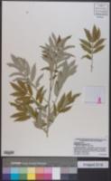 Image of Melianthus comosus