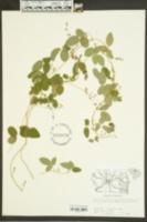 Galactia volubilis image