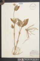 Clematis ochroleuca image