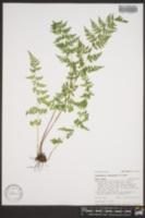Cystopteris reevesiana image
