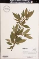 Image of Prunus pensylvanica